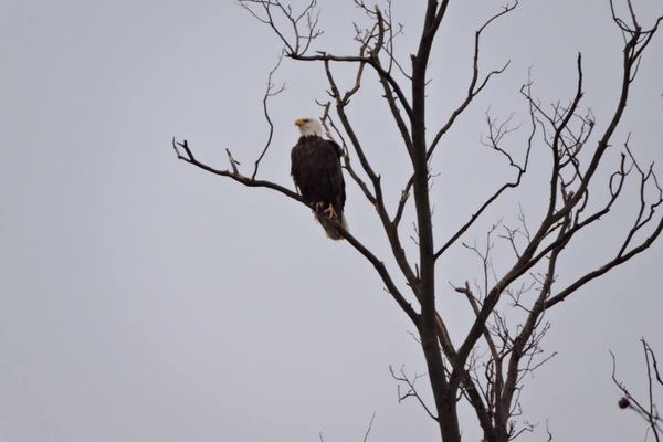 The third bald eagle sighting on Dec. 15.