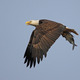Photo courtesy Sean McCandless An adult bald eagle with a mud shad.