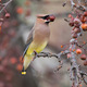 Cedar Waxwing 1 Photo courtesy Sean McCandless A Cedar Waxwing spotted in Cecil County