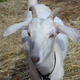 Photo by Richard L. GawOne of the many goats at the Centreville School's Animal Sciences Program.