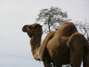 Thats No Cow Its a Camel  - Mar 11 2015 0904AM