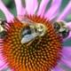 Thumb_bees_20on_20purple_20coneflower