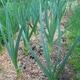 Garlic Growing In The Garden