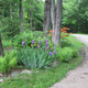 Scented Ferns Around The Base Of The Maples, Iris, Mandarin Lights Azalea, North Star Cherry Tree