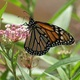 Thumb_monarch_20small