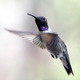 A male Black-chinned hummingbird. This species favors lower elevations.
