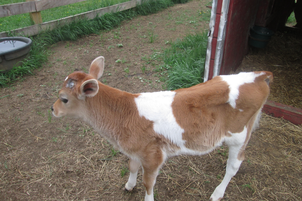One of the calves being raised at the farm.
