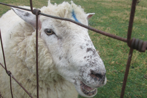 Sheep are favorites of visitors.