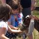 Feeding the goats of Ironshoe Farms petting zoo