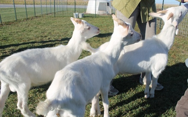 LaClare Goats