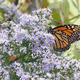 Thumb monarch2