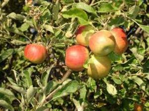 Medium apple background1