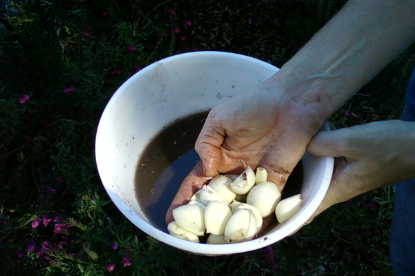 Garlic preparation for planting