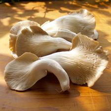 Medium oyster mushrooms