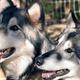 Siblings Kola & Wihopa were rescued in Flagstaff, AZ.