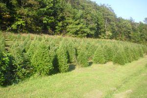 a family owned christmas tree farm harvesting douglas fir fraser fir balsam fir canaan fir and concolor fir trees you choose your tree - Middleburg Christmas Tree Farm