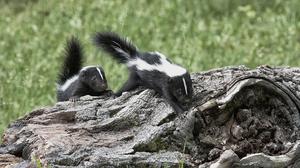 Medium 15 skunk