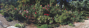 Just some of Sue Kendalls nearly 400 rose bushes