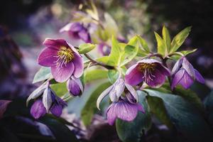 Hellebores Offer Attractive Sculptured Foliage and Flowers That Bloom in Winter - Feb 11 2016 1012PM