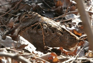 Medium springfrogs