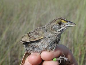 Medium seaside sparrow banding research  2   npsphoto  9250338006