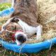 A pool of hay was used for our Thanksgiving-themed enrichment trail and Cooper was having a great time