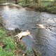 Six dead deer were found in White Clay Creek in Franklin Township on April 4 Photo by Paul Overton