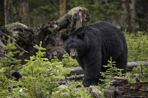 Bear Sightings in Springtime What to Do and What Not to Do - Apr 26 2016 0150PM
