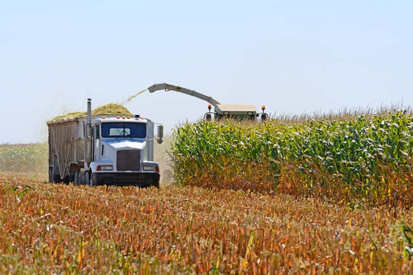 Harvesting feed corn