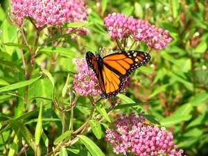 Our Natural World Roll Out the Monarch Red Carpet  - Jun 06 2016 0512PM