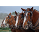 Darin Palmer's four Belgian draft horses wait to practice pulling on their South Jordan farm. –Linnea Lundgren