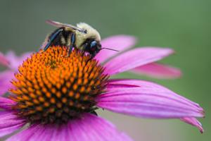 Medium bumble 20bee 20close 20up 20medium