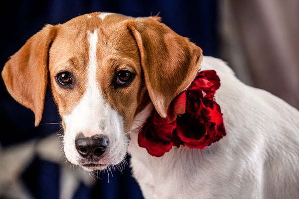 Neely Rose, up for adoption at Ruth's Memorial: Cabarrus Humane Society.