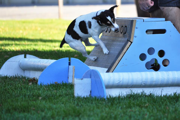 Bandit, a Jack Russell terrier, leaps off the springboard during practice. Thunder Paws competes in competitions in Las Vegas and Hurricane. (Nikelle Perkins/Thunder Paws)