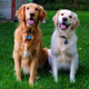 Golden retrievers Jackson and Alta (Rachel Bevan)