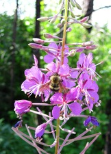 Medium bee 20and 20fireweed