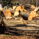 The carnage from some of the large Cottonwood trees that were cut down. (Susan Basmajian)