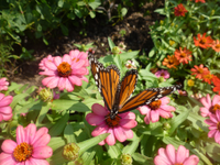 Monarch 20nectaring 20on 20zinnias