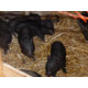 A new litter of piglets makes its home behind the Taylorsville/Bennion Heritage Center. (Carl Fauver/City Journals)