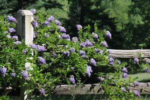 Medium wisteria 20frutescens 20mcc 201408 20 4
