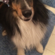Rebel » Rebel is a four-year-old sheltie who is shower-ready!—Kim Connelly