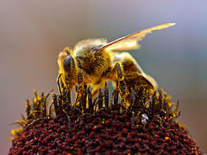 Medium 240px bees collecting pollen 2004 08 14