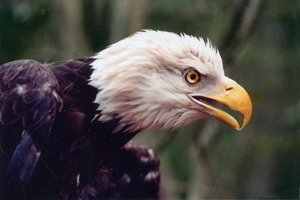 Medium bald eagle photo by phil miller sm