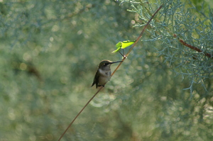 Medium hummingbirds