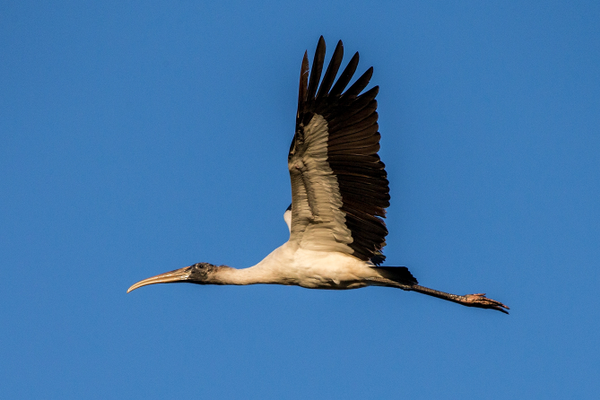 A juvenile wood stork flying south; below lef t, a female and male roosting in South Florida; below right, an adult wood stork foraging. Photo by William R. Cox.