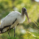 A juvenile wood stork in the Cecil M. Webb Wildlife Management Area in Charlotte County. Photo by William R. Cox.