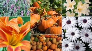 Medium pumpkin plant sale 2017