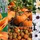 Thumb pumpkin plant sale 2017