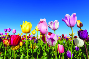The Time is Now to Select and Plant Spring-Flowering Bulbs - Dec 12 2017 1222AM