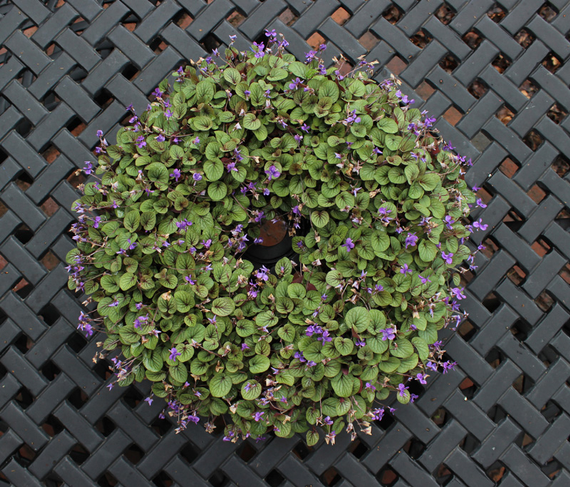 Living 20violet 20wreath 20800 20x 20700